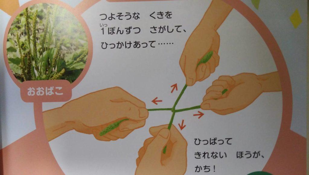 オオバコでの茎で引っ張り合い